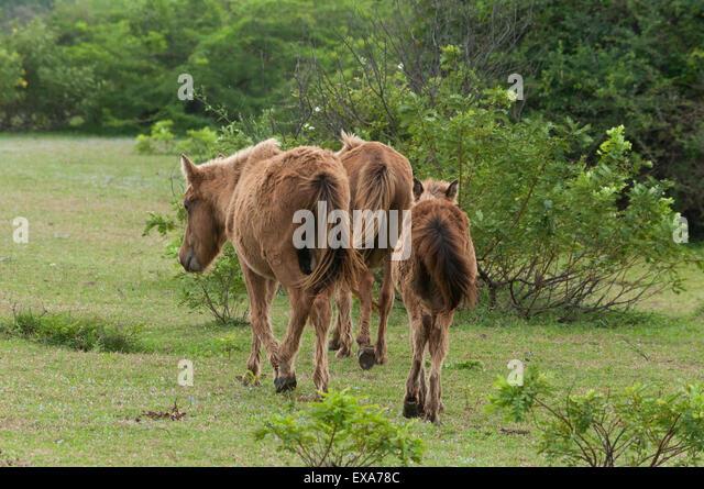 Pony horses in India - Stock Image