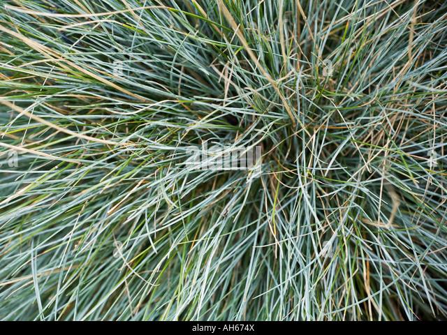 Ornamental Grasses Victoria Bc : Festuca glauca stock photos images