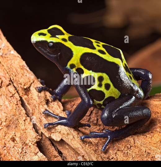 poison dart frog, dendrobates tinctorius in Amazon rain forest - Stock-Bilder