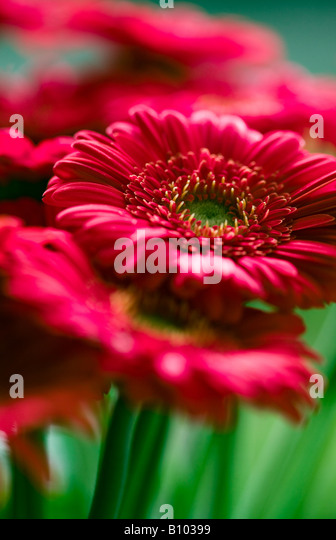 Red gerbera flowers close up - Stock Image