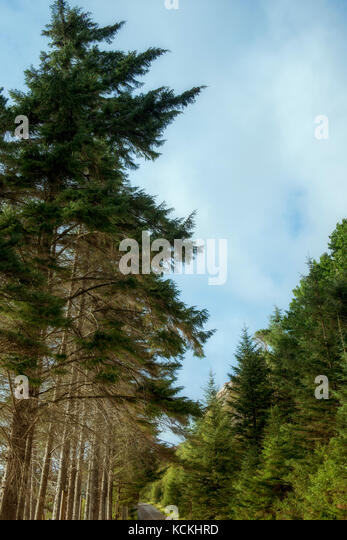 Tall pine trees alongside a road in Wester Ross, Scotland, UK - Stock Image