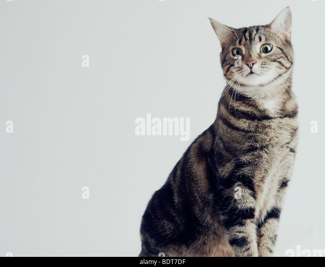 cat sitting in a studio - Stock Image