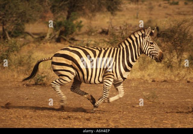 A zebra running - Stock Image