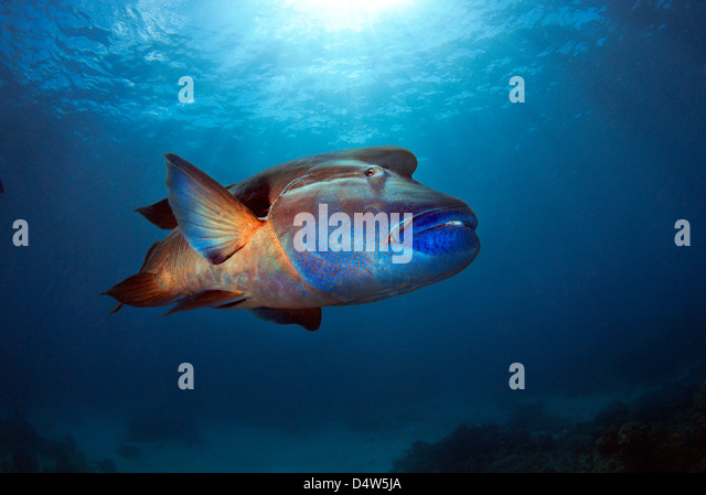 Humphead Wrasse Cheilinus undulatus, Maori Wrasse, Napoleon Wrasse or Napoleonfish posing on the Great Barrier Reef, - Stock Image