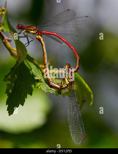 Pyrrhosoma nymphula, Large Red Damselfly  mating forming a heart shape resting on a leaf - Stock-Bilder