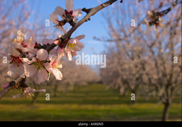 rows of growing plants cherry blossom trees branches pink flowers buds season sky green ground Asian nature - Stock Image
