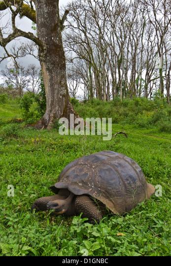 Wild Galapagos giant tortoise (Geochelone elephantopus), Santa Cruz Island, Galapagos Islands, Ecuador. - Stock-Bilder