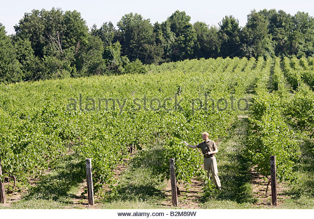Michigan Buchanan Tabor Hill Winery and Restaurant man agriculture viticulture vineyard grapes plants wine vines - Stock Image