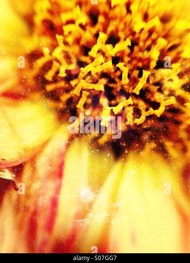 Close up of a dahlia - Stock Image