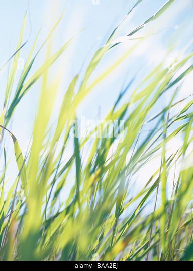 Reeds, Sweden. - Stock Image