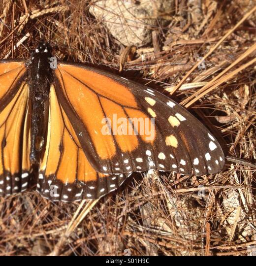 A Monarch Butterfly in Cerro Pelon Sanctuary in Capulin village, Mexico State, Mexico - Stock Image