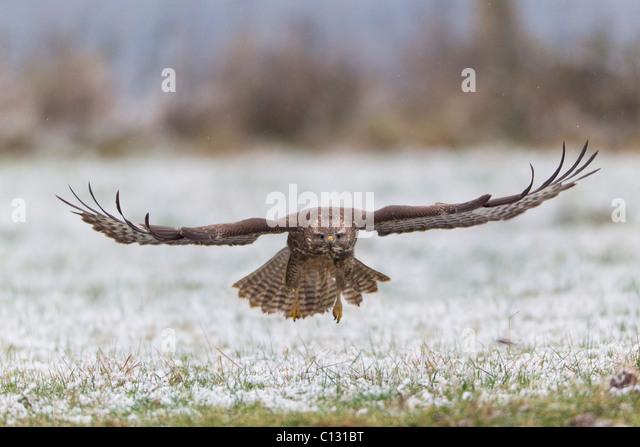 Common Buzzard (Buteo buteo) in flight over snow covered field - Stock Image