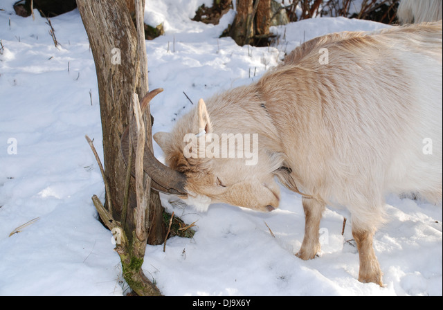 Goats in snow - Stock Image