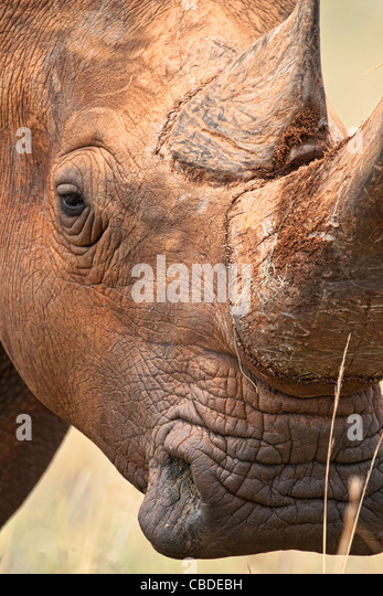 White rhinoceros (Ceratotherium simum) square-lipped rhinoceros portrait of horn and eye Madikwe Game Reserve South - Stock Image