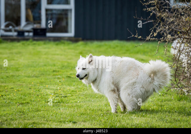 Samoyed dog taking a dump on a green lawn in a garden with a house in the background in the spring - Stock Image