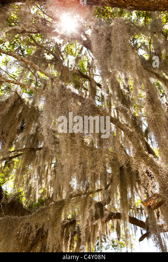 spanish moss hanging from oak tree - Stock Image