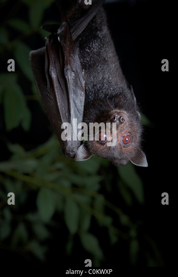 Black flying fox Queensland Australia - Stock-Bilder