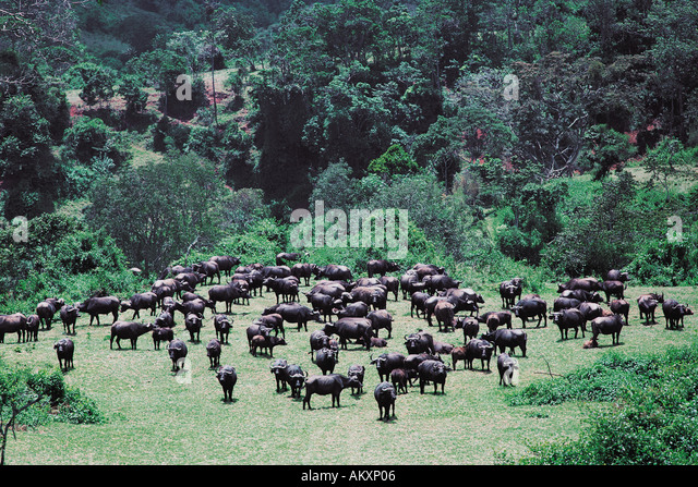 Breeding herd of Cape Buffalo in open glade of the forest Aberdares National Park Kenya East Africa - Stock Image