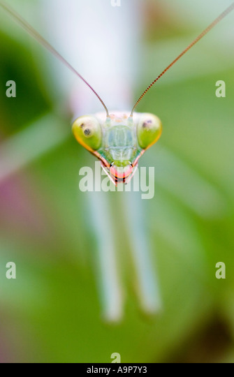 Head close up of praying mantis on green plant - Stock Image