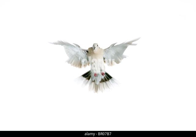 White dove on white background. - Stock Image