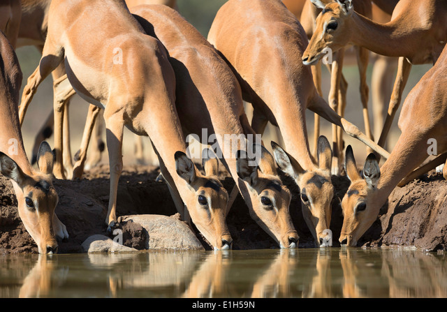 Group of Impala (Aepyceros melampus) drinking at watering hole, South Africa - Stock Image