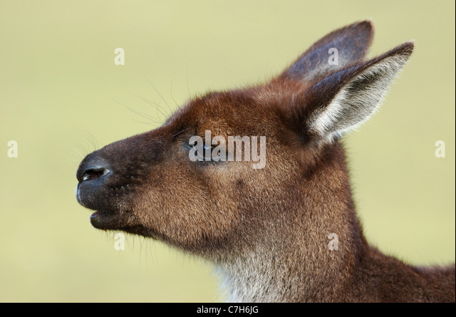 Western Grey Kangaroo  in Flinders Chase National Park - Stock Image