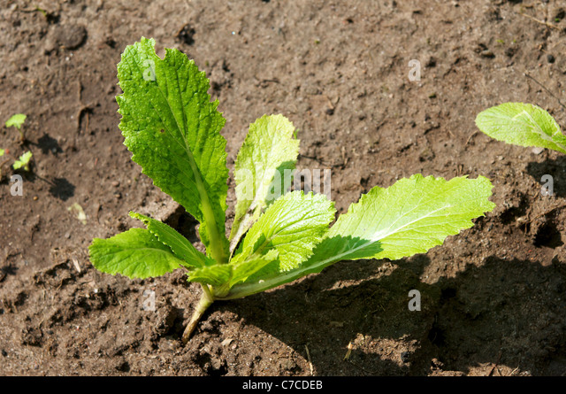 Young Napa cabbage plant (Brassica rapa subsp. pekinensis) in our farm garden. - Stock Image