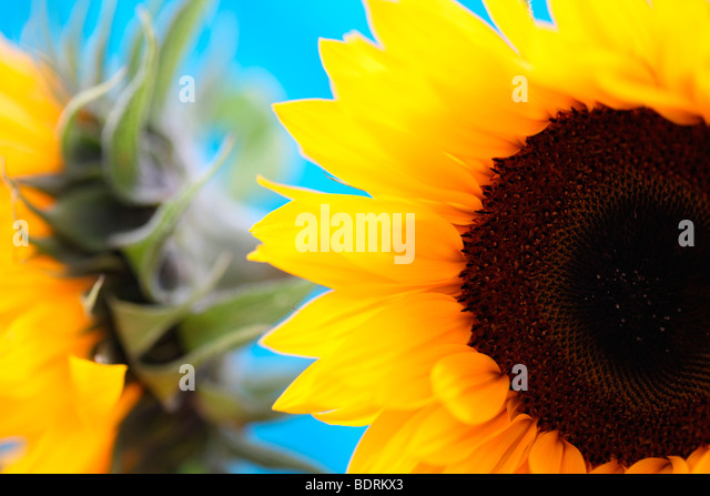 striking impressive sunflower heads in a soft contemporary style - fine art photography Jane-Ann Butler Photography - Stock Image