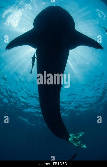 Underwater view of whale shark, Isla Mujeres, Quintana Roo, Mexico - Stock Image