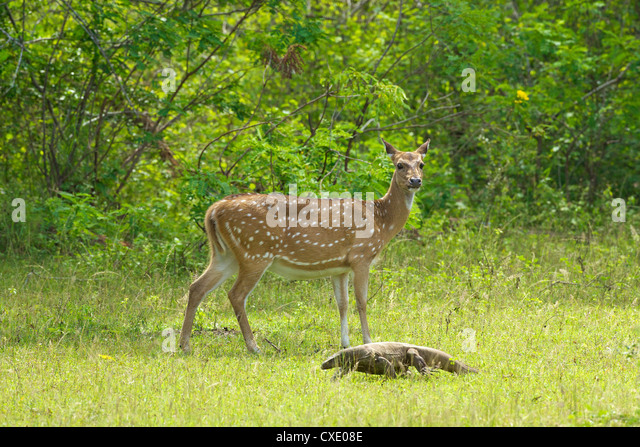 Ceylon spotted deer hind and Land monitor lizard, Yala National Park, Sri Lanka, Asia - Stock Image