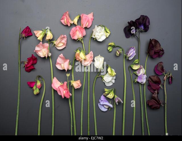 Cut Sweet Peas on Chalkboard Background - Stock Image