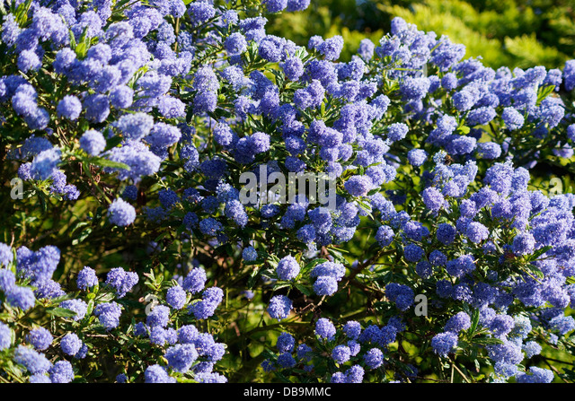 ceanothus blue stock photos ceanothus blue stock images. Black Bedroom Furniture Sets. Home Design Ideas