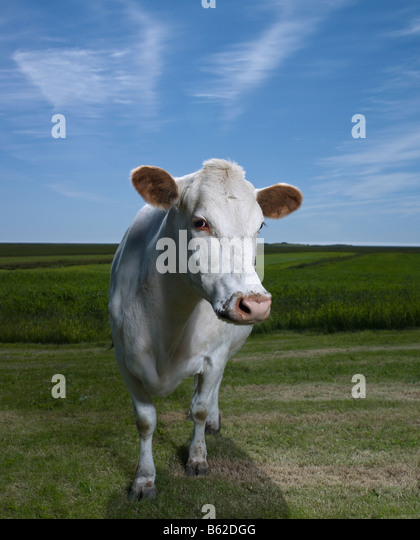 White Dairy Cow on Farm, Eastern Iceland - Stock Image