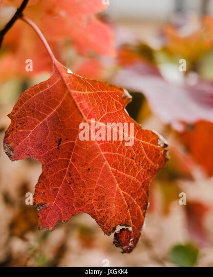 Red maple tree leaf in full autumn color. - Stock Image