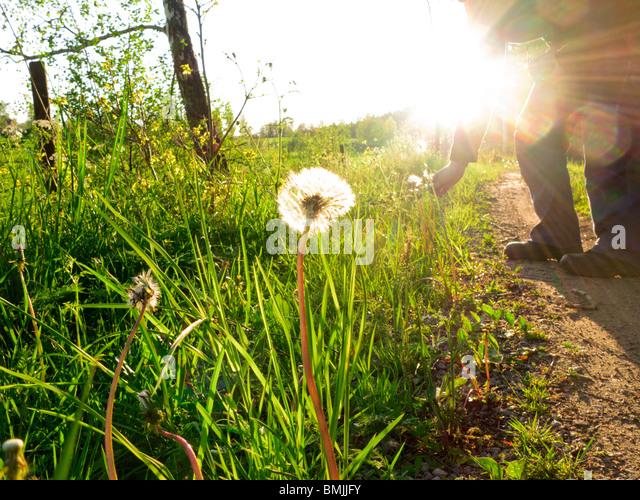 Scandinavia, Sweden, Sodermanland, Person picking dandelion (lens flare) - Stock Image