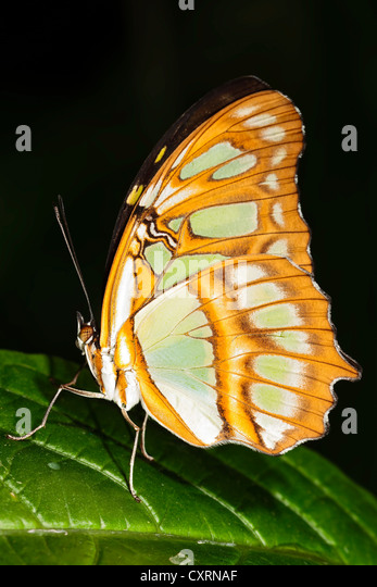 Malachite Butterfly - Stock Image