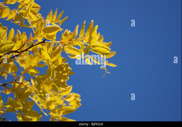 Close up of yellow leaves on a tree in Springtime against a blue sky. - Stock Image