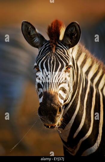 Zebra (Equus burchell's) portrait close-up - Kruger National park (South Africa) - Stock Image