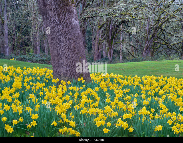 Daffodils under oak tree. Oregon Gardens. Oregon - Stock Image