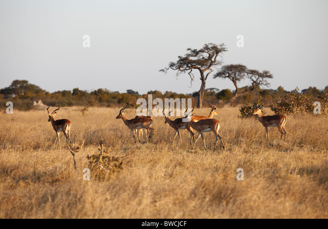 A herd of Impala in Hwange National Park - Stock Image