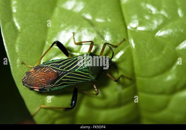 Bedbug of 2 cm - Stock Image
