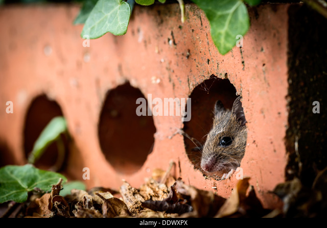 Wood mouse hiding inside an house brick - Stock Image