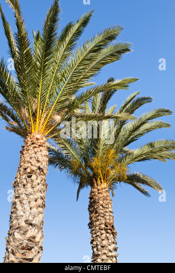 Looking upwards at two palm trees against a clear blue sky, Fuerteventura, Canary Islands - Stock Image