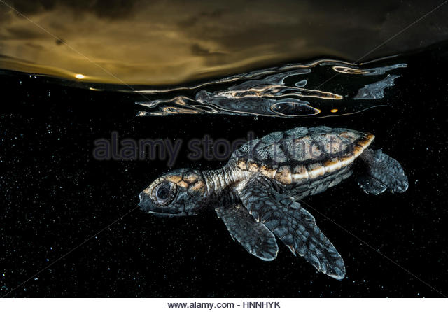 A critically endangered hawksbill sea turtle hatchling, Eretmochelys imbricate, paddles away from shore. - Stock-Bilder