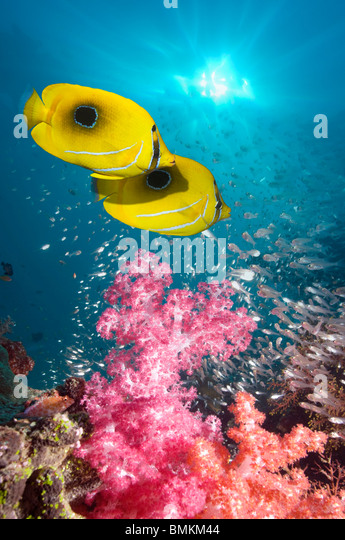 Panda butterflyfish  over barrel sponge with fish schools in background.  Misool, Raja Empat, West Papua, Indonesia. - Stock Image