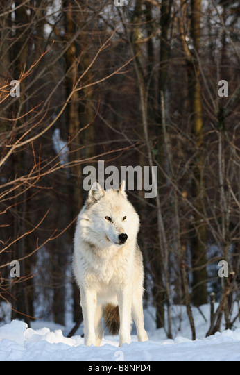 White phase Alpha Male Grey (Gray) Wolf (Eastern Timberwolf) in early morning light overlooks rest of pack - Stock Image