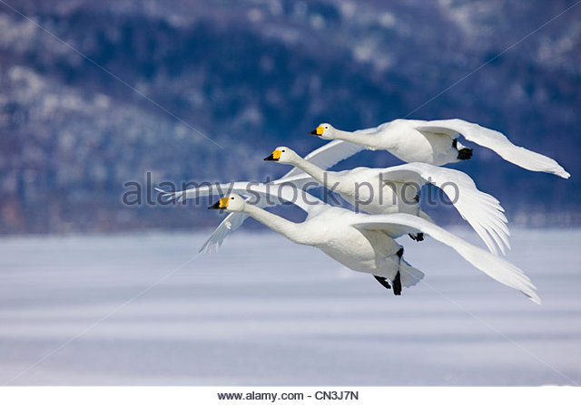 Three Whooper Swans fly in unison, Hokkaido Island, Japan - Stock Image
