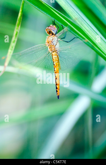 The dragonfly with beautiful colors - Stock-Bilder