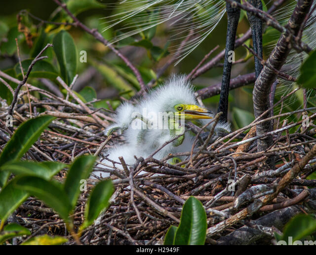 A one week old White Egret chick already exercises its tiny, arm-like wings as it clamors over its siblings underneath. - Stock Image