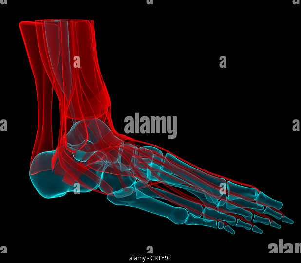 3D illustration of a foot with bones and tendons - Stock Image